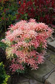 Flowering Shrubs For Partial Sun - foliage colours of pieris japonica u0027flaming silver u0027 in spring