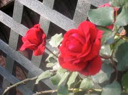 climbing rose for trellis houston tyler buying suite bonnets