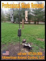 skunk removal american animal control llc animal removal