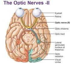 Human Anatomy Flashcards Cranial Nerves Human Gross Anatomy Flash Cards Koofers