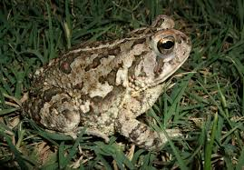 How To Get Rid Of Cane Toads In Backyard Creature Feature Fowler U0027s Toad Bufo Anaxyrus Fowleri Wake