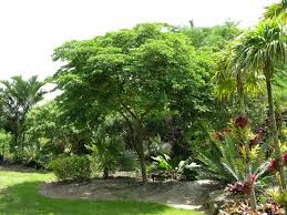 gardening south florida style flowering trees in south florida