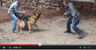 belgian shepherd training video mountain canine college free protection dog training videos by