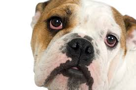 Blind Dog Eye Discharge How To Care For An English Bulldog U0027s Eyes Pets
