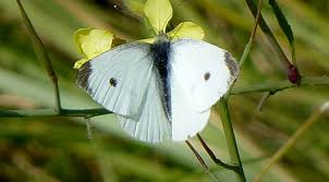Nauset Marsh Cape Cod - cabbage white butterflies at nauset marsh in eastham on cape cod