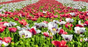 carlsbad flower garden flower fields at carlsbad ranch inn at rancho santa fe