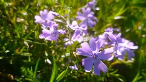 phlox subulata ornamental planting in the garden high definition