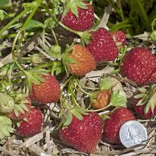 mara des bois strawberry plant