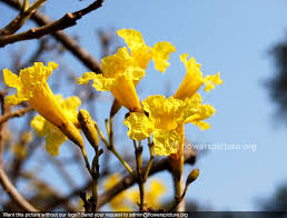 Yellow Flowering Trees - yellow trumpet flower tecoma stans