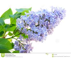 Lilac Flower by Lilac Tree Bloom Stock Photos Images U0026 Pictures 5 539 Images