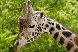 beige and black giraffe photo free stock photo
