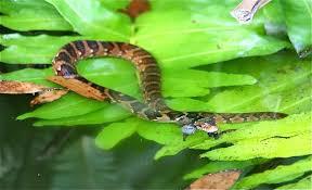 florida banded watersnake nerodia fasciata pictiventris b jpg