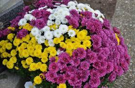 free images petal flora mums floristry autumn flowers