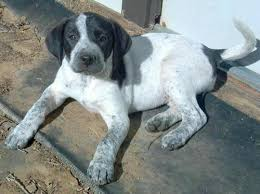 bluetick coonhound for sale in va allie blue tick coon hound and labrador mix for adoption