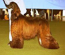 afghan hound group afghan hound wikipedia
