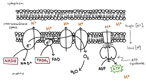oxidative phosphorylation and the electron transport chain video