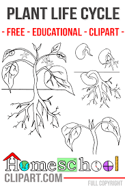 plant life cycle coloring page