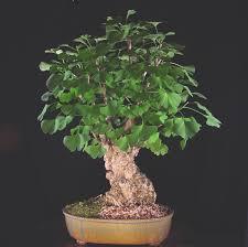 ginkgo bonsai trees