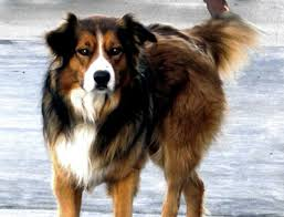 australian shepherd vs german shepherd saved by dogs shepherding collies a collie by another name