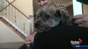affenpinscher calgary highest wind gusts ever recorded in edmonton wreaked havoc on the
