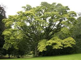 jatropha wikipedia plants bonsai bonsai seeds page 1 hirt u0027s gardens