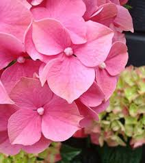 hydrangeas flowers hydrangea flowers