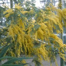 how to grow acacia mimosa amateur gardening