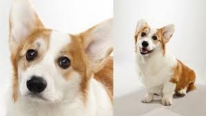australian shepherd vs corgi pembroke welsh corgi dog breed selector animal planet