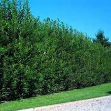 Backyard Privacy Trees Privacy Trees Willow Hybrid Growing Zones 4 9 U2022 Fastest