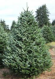 fraser fir christmas tree christmas tree fraser fir blue ribbon the event