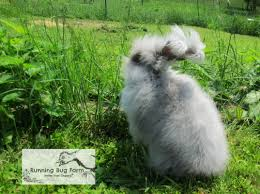 how to care for your angora rabbit running bug farm