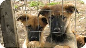 belgian shepherd malinois mix puppies adopted puppy hendersonville nc australian