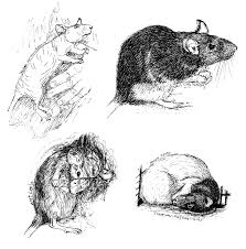 rat sketches with more detail by never mor on deviantart