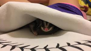 Gliders For Sale 2 Sugar Gliders For Sale In Hoobly Classifieds