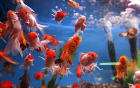 pib india on pilot project on ornamental fisheries with