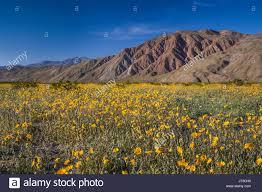 spring desert wildflowers near borrego springs california usa