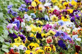 free images pansies violet viola tricolor summer flowers