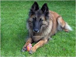 belgian sheepdog coat groenendael shepherd dog belgian shepherd dog groenendael