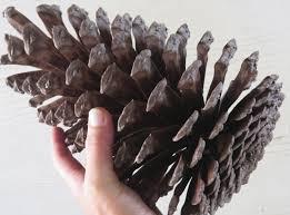 10 11 jumbo pine cone large pine cone jumbo pinecone
