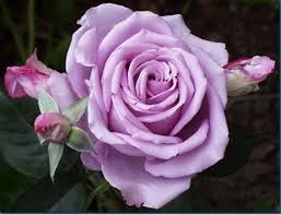 purple roses for sale 30 purple hybrid seeds fresh lavender