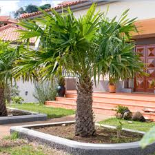 cold hardy palm trees brighter blooms nursery