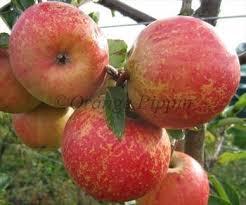Online Fruit Trees For Sale - rubinette apple trees for sale buy online friendly advice