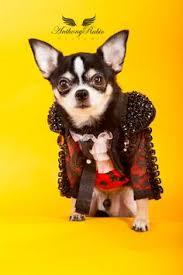 Chihuahua Halloween Costume Pet Couturier Anthony Rubio Created Samurai Dog Halloween