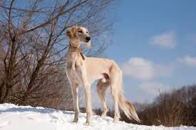 australian shepherd top speed 15 of the fastest dog breeds u2013 iheartdogs com