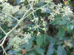 oz native plants flora friday in oz bidjigal reserve baulkham hills 9th november
