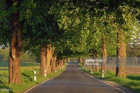 treelined country road with chestnut trees in bloom