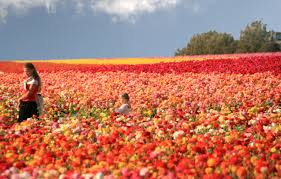 san diego flowers the flower fields of carlsbad ranch san diego travel