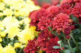 Picture Of Mums The Flowers - mum sale
