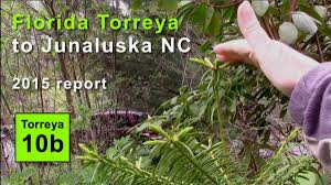 plants native to north carolina i u003etorreya taxifolia rewilding assisted migration assisted