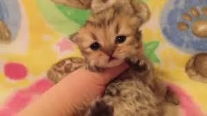 sweet baby rory golden teacup persian kitten sale